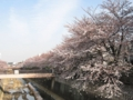 [風景][花]石神井川の桜並木