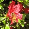 [花][昆虫]ツツジとミツバチ