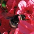 [花][昆虫]ツツジとマルハナバチ