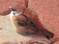 [鳥]おでぶちゃんなスズメ@よみうりランド