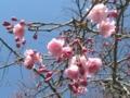 咲きかけ八重桜@よみうりランド