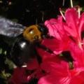 [昆虫]クマバチ