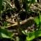 イナゴの幼虫