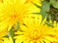 [昆虫]キリギリスの幼虫