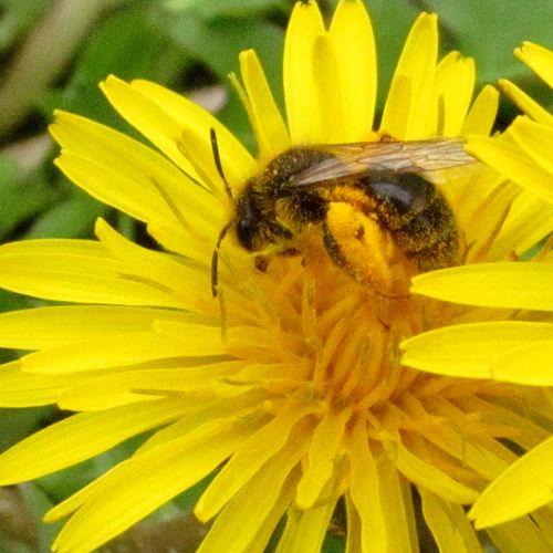 夢中で花粉と戯れる?ハナバチ