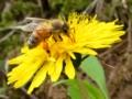 [昆虫]蜜を吸うミツバチ