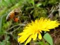 [昆虫]飛び立つミツバチ