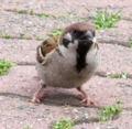 [鳥]林ももこさんのリハ中に飛来したスズメ@よみうりランド